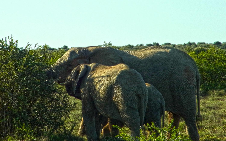 elefanten2_k