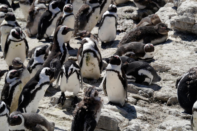 pinguin3_k
