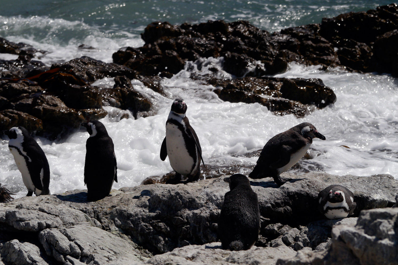 pinguine1_k