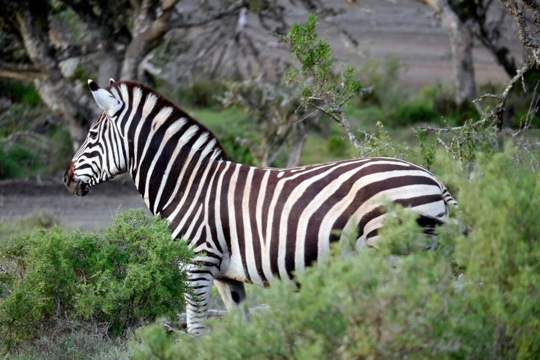 zebra1_k